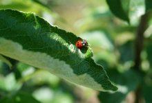 Photo of Een biologische bestrijding tegen bladluis